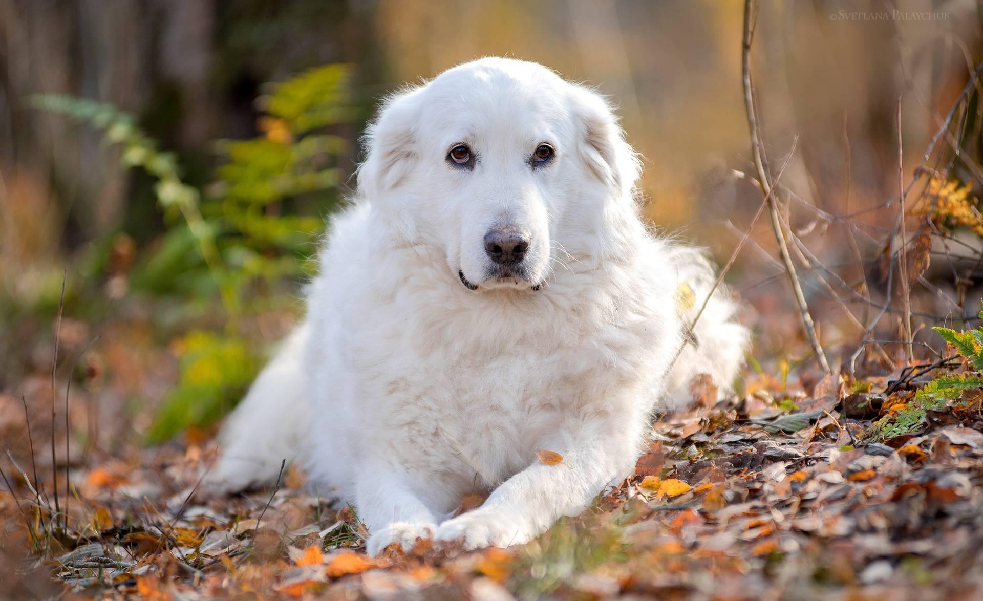 Мареммо-абруццкая овчарка: плюсы и минусы породы собак мареммо-абруццкая овчарка: плюсы и минусы породы собак