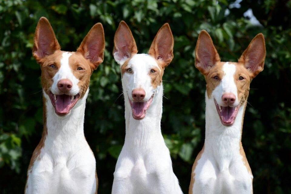 Топ 50+ самых умных собак в мире (с фото): рейтинг по интеллекту