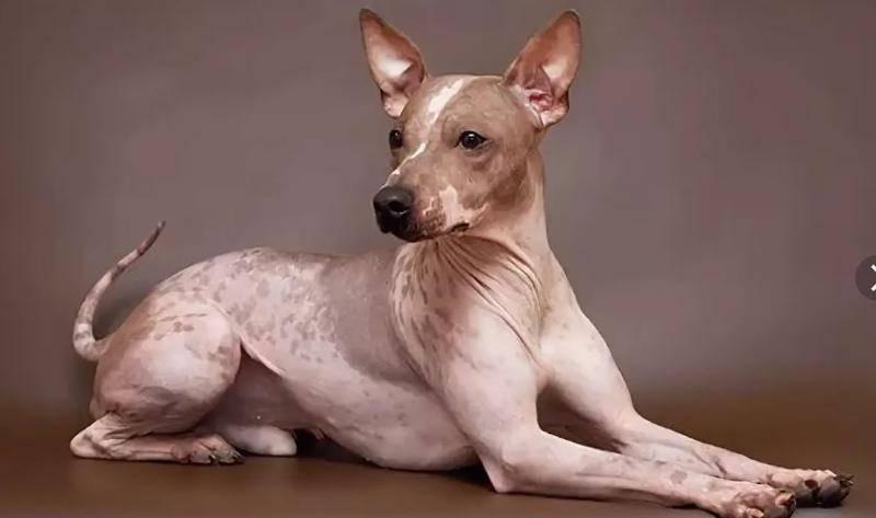 Характеристика породы собак американских и английских голых терьеров