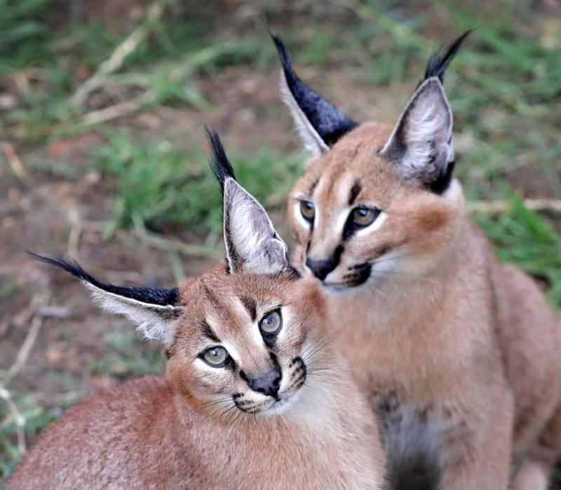 Каракал (пустынная или степная рысь): описание степной кошки, поведение и характер