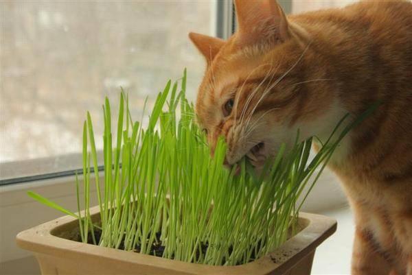 Трава для кошек, котов и котят: как выращивать и ухаживать дома