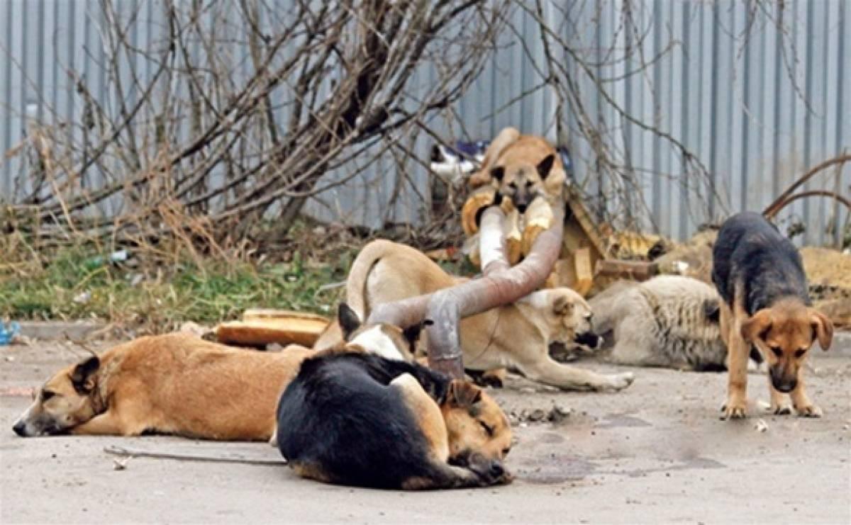 «переступить через жалость»: новосибирские депутаты поддержали идею об убийстве бродячих собак