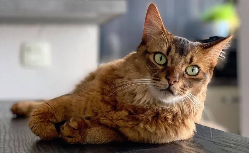 Гималайская кошка – перс и сиамец в одном флаконе