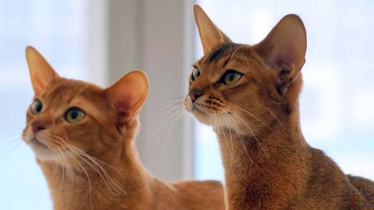 Цейлонская кошка — описание породы кошек