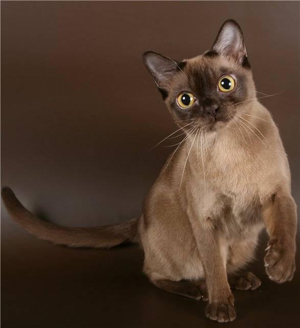 Бурманская кошка: описание породы и характера (фото окрасов и цена)