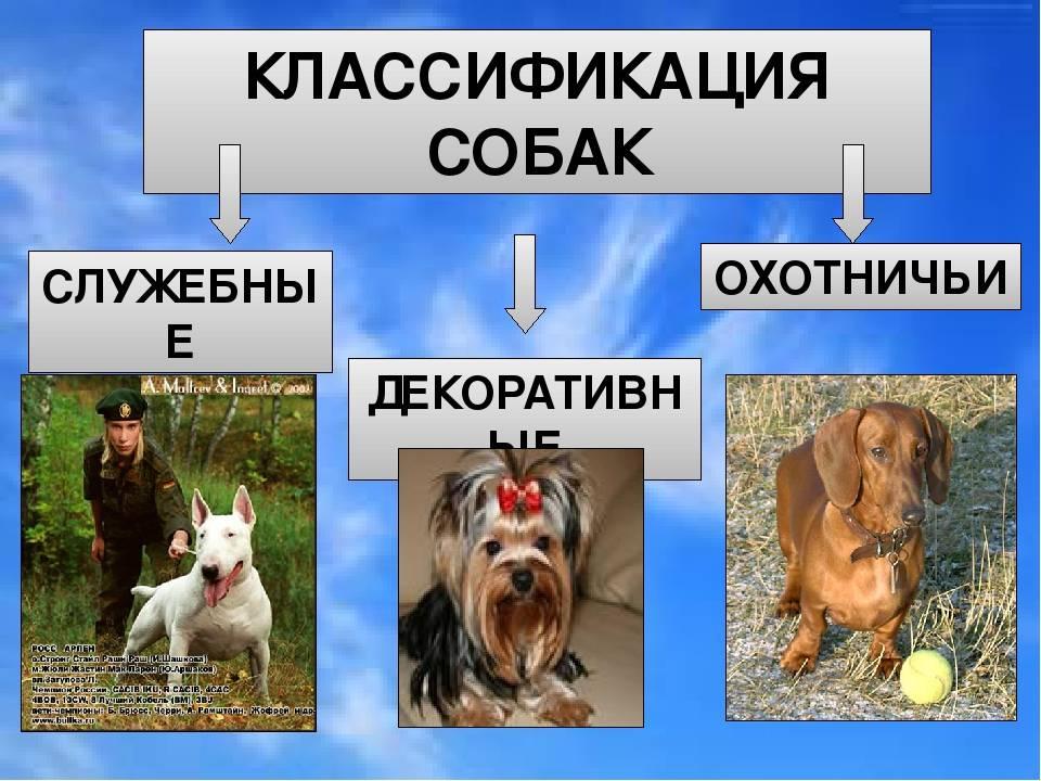 Сколько всего пород собак существует в мире: их перечень и классификация