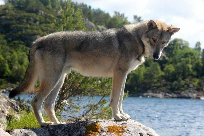 Всё о помеси собаки и волка: название породы, как выглядит собака
