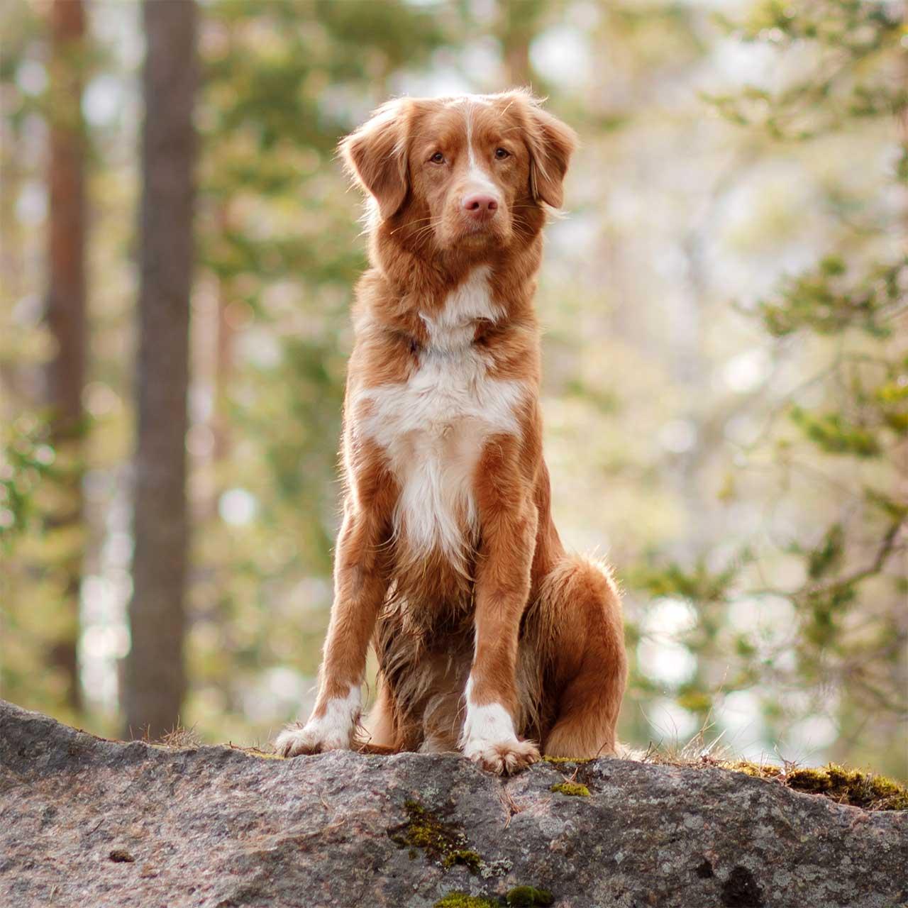 Новошотландский ретривер собака
