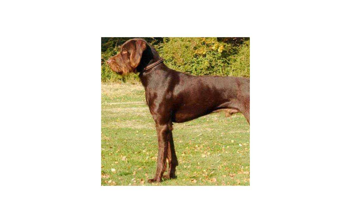 Пудель пойнтер: описание породы, характер, уход (с фото) | все о собаках