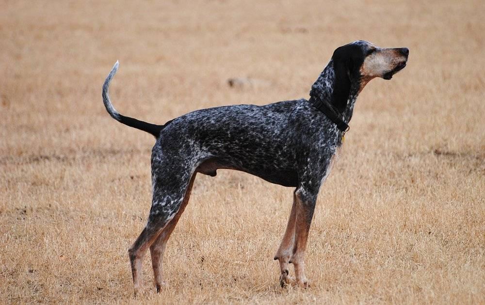Вельш корги кардиган — фото, описание породы собак, характер
