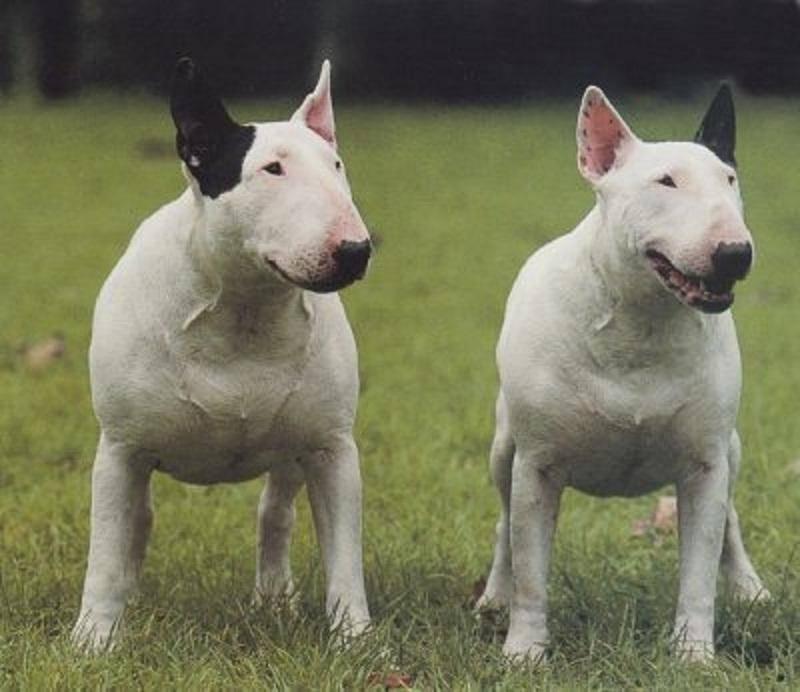 Бойцовские собаки - названия 15 пород с фото