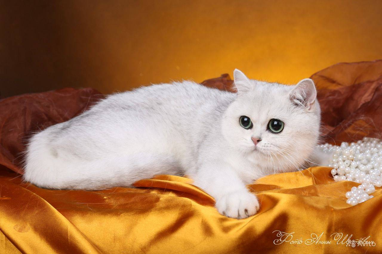 Порода кошек британская шиншилла, длинношерстное чудо с зелеными глазами и спокойным характером