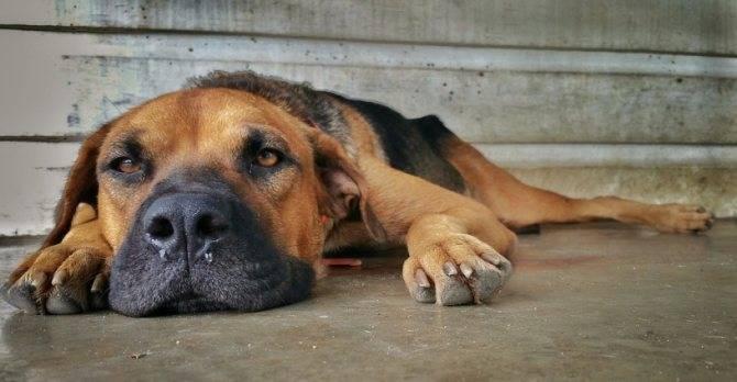 Вялость у собаки. опасные и не опасные признаки.