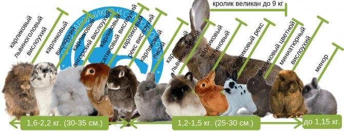 Декоративные кролики сколько живут. как долго живут декоративные кролики   дачная жизнь
