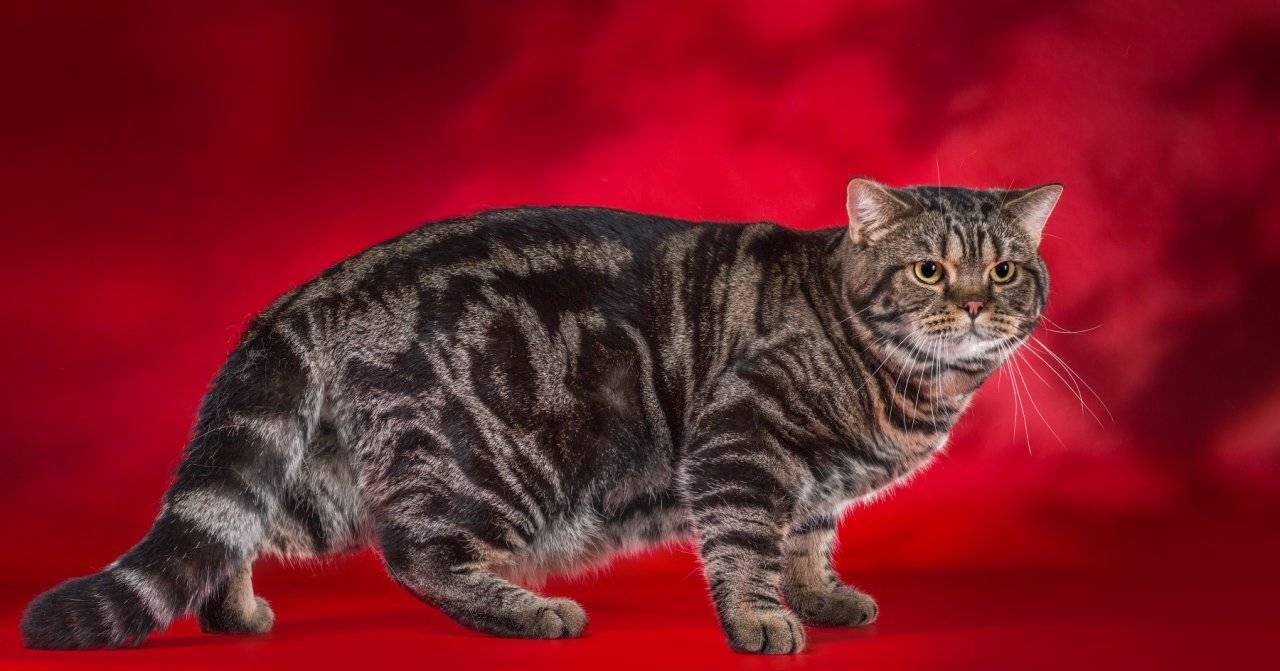 20 пород кошек с окрасом табби: фото, вариации, особенности