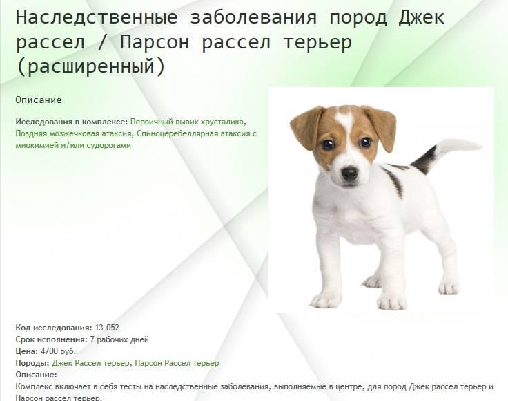 Джек рассел терьер собака. описание, особенности, уход и цена джек рассел терьера | sobakagav.ru