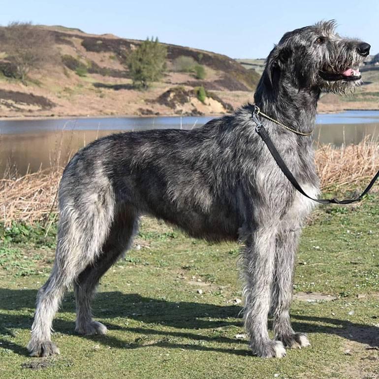 Список пород собак, похожих на волков. список пород собак, похожих на волков.