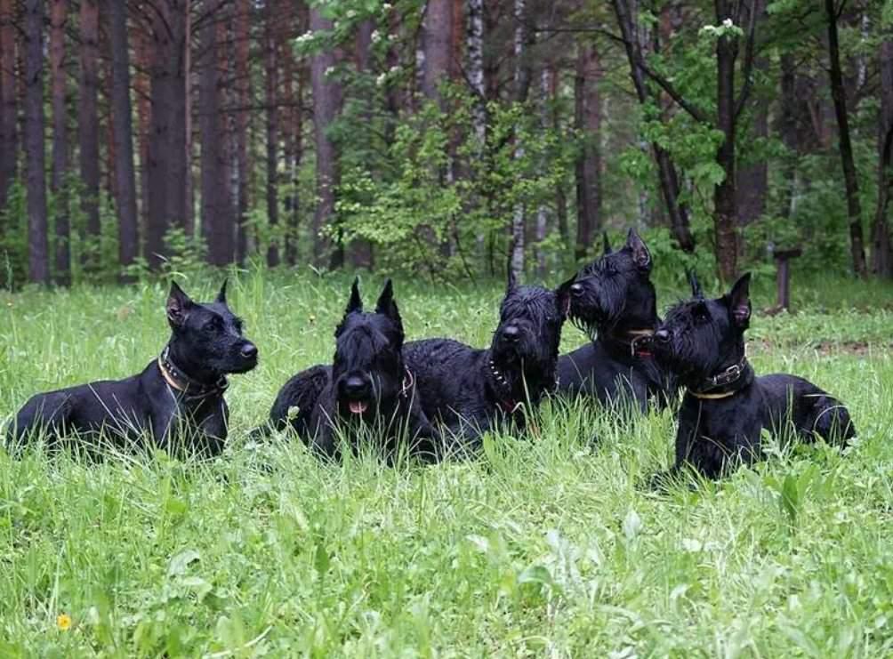 Какие самые злобные породы собак: породы злых собак и особенности их агрессии, рейтинг маленьких злых собачек