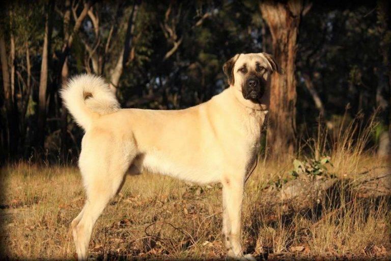 Собака акбаш - характеристика и описание породы турецкой овчарки