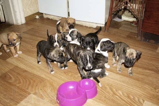 10 лучших сухих кормов для американского стаффордширского терьера | dog-care - журнал про собак