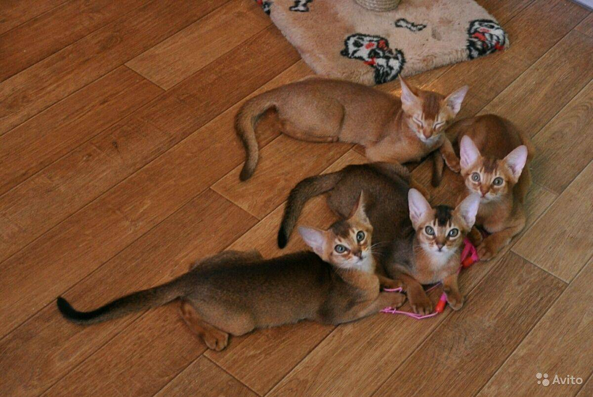 Абиссинская кошка: характеристика породы