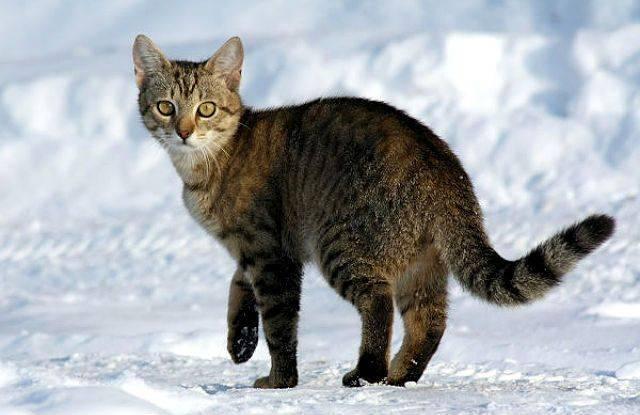 Китайская кошка или гобийская серая кошка: фото, описание породы, обитание, питание, размножение китайская кошка или гобийская серая кошка: фото, описание породы, обитание, питание, размножение