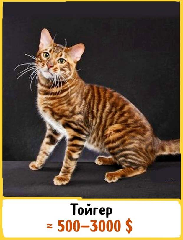 Охос азулес: описание внешности и характера, уход за питомцем и его содержание, выбор котёнка, отзывы владельцев, фото кота
