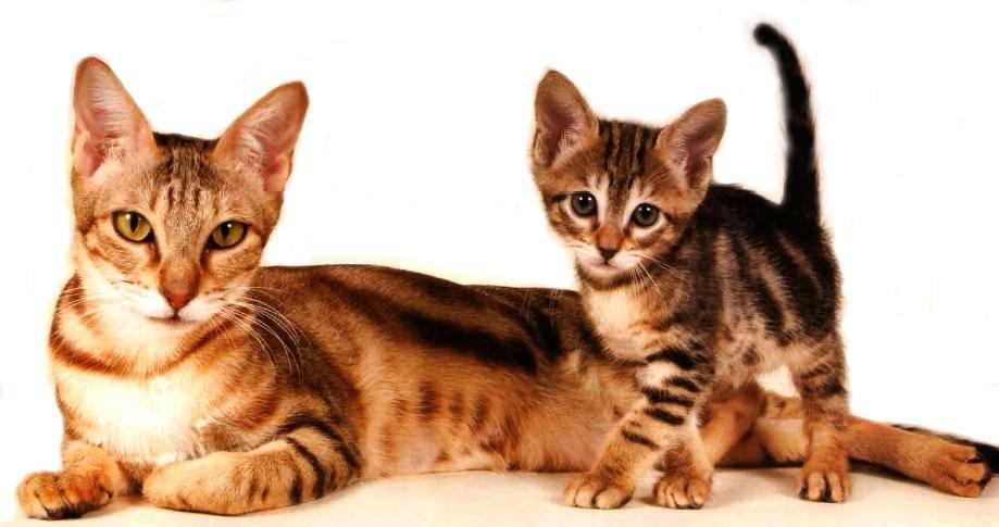 Африканская порода кошек сококе