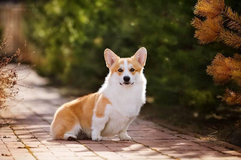 Вельш-корги пемброк: порода лопоухих собак-любимцев королевы елизаветыii