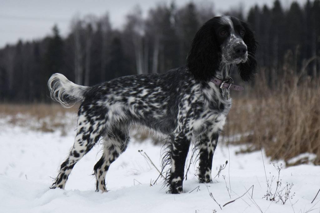 Вы решили приобрести щенка русского охотничьего спаниеля для охоты - русский охотничий спаниель