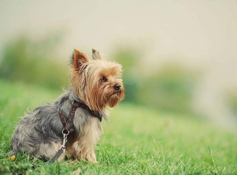 Йоркширский терьер: история породы, особенности, выбор щенка, содержание, здоровье (83 фото + видео)