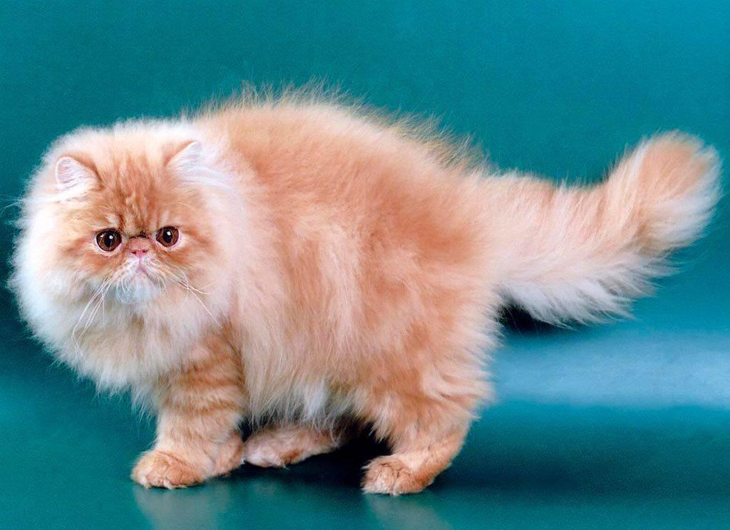 Персидская кошка: 40 фото c описанием породы, стоимость котёнка