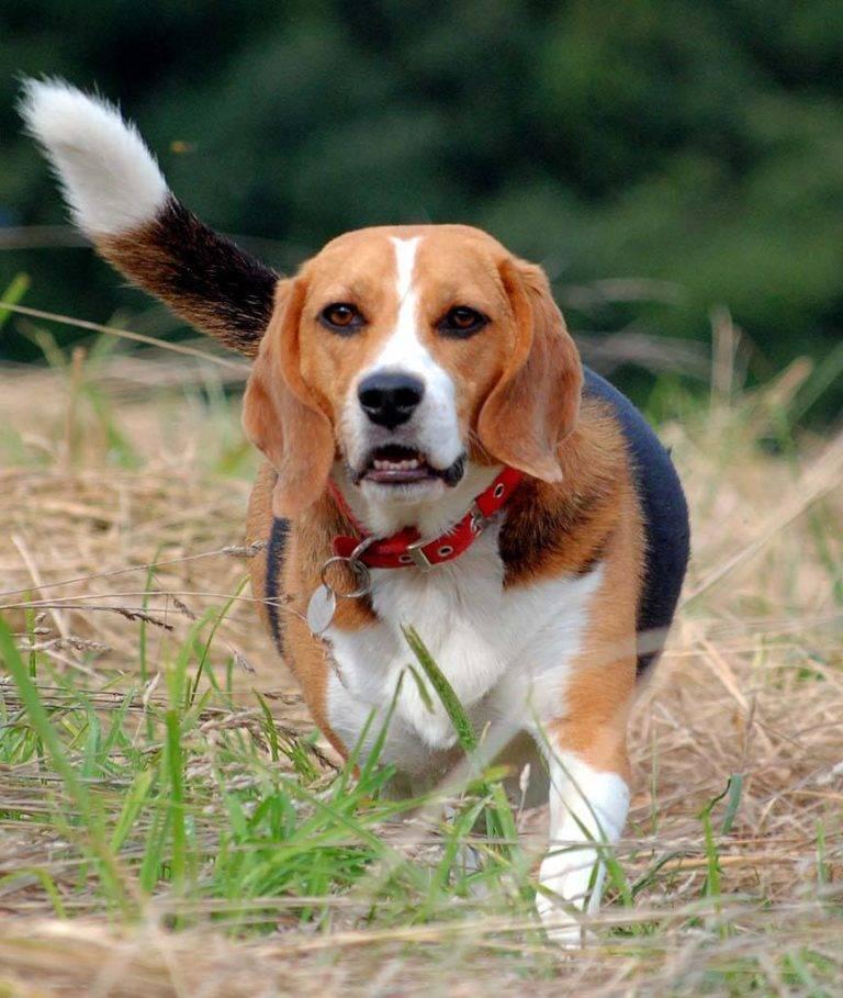 Бигль — порода собак