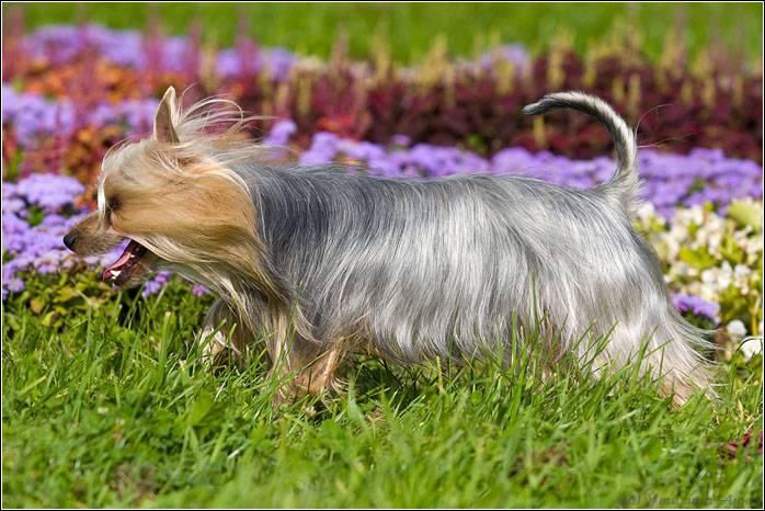 Австралийский шелковистый терьер: фото собаки, описание и стандарты породы