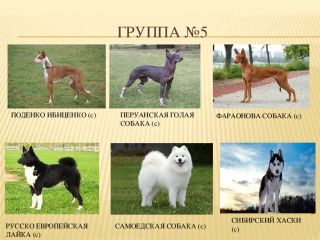 Породы собак ркф — условные обозначения и сравнительная классификация