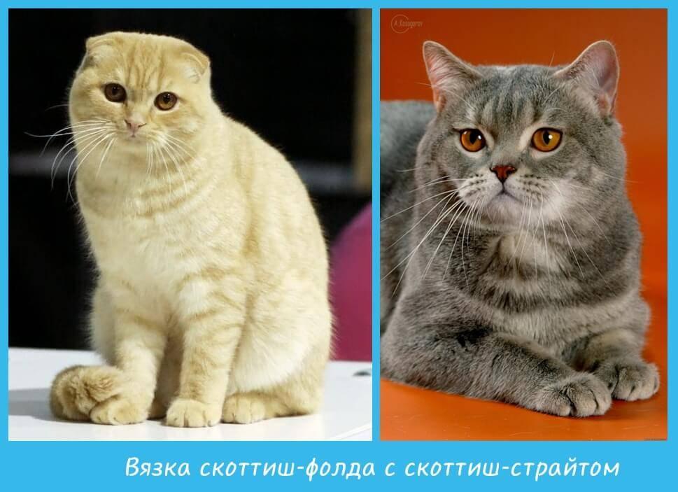 Шотландская вислоухая кошка: характер, описание породы, чем кормить | zoosecrets
