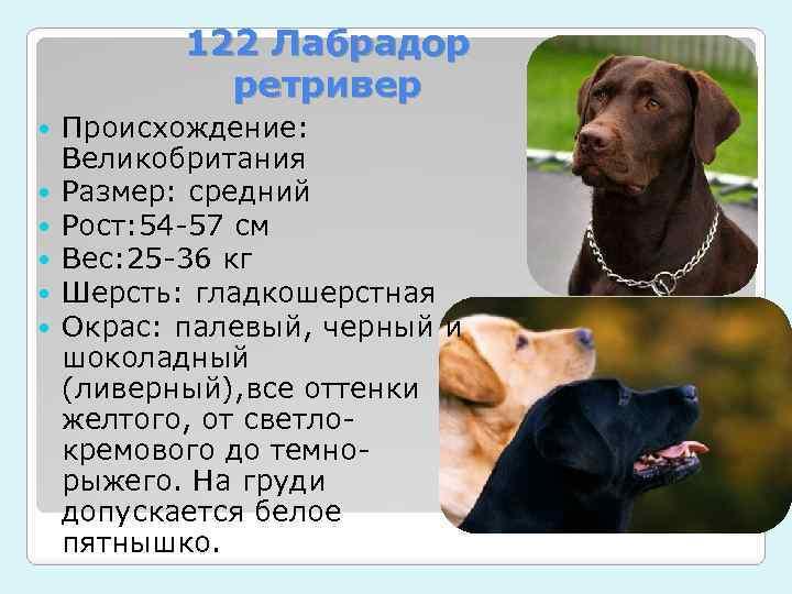 Сколько живут лабрадоры в домашних условиях: какой возраст собаки в среднем по человеческим меркам
