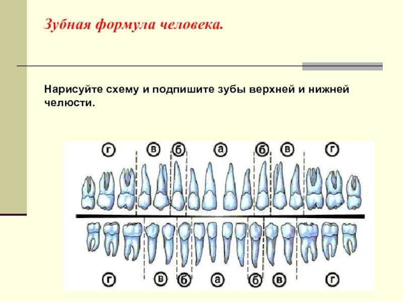 Строение зубов человека, из каких частей состоит зуб | colgate