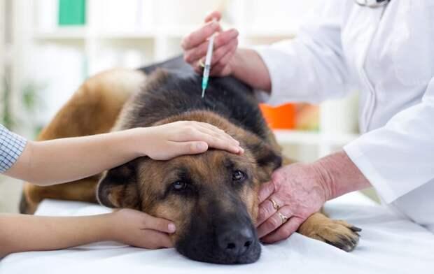 """Болезнь кушинга у собак - диагностика и лечение синдрома кушинга в москве. ветеринарная клиника """"зоостатус"""""""