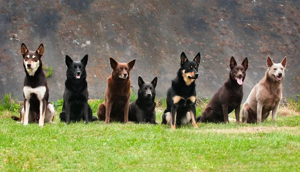 Универсальный пастух — порода собак австралийский келпи