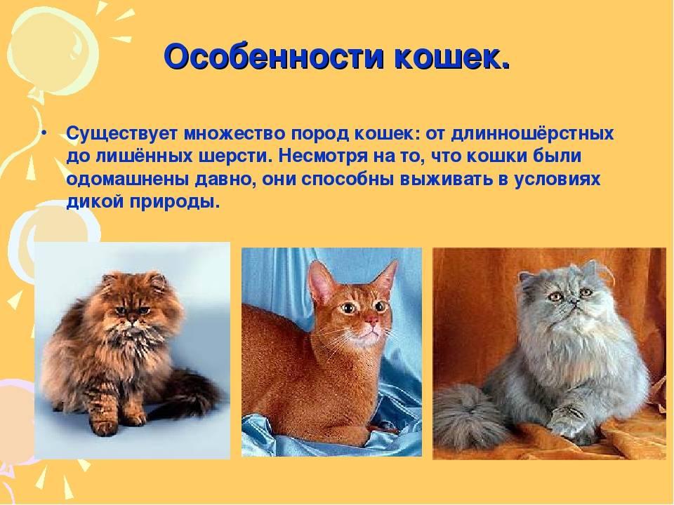 Невская маскарадная кошка: подробное описание, фото, купить, видео, цена, содержание дома