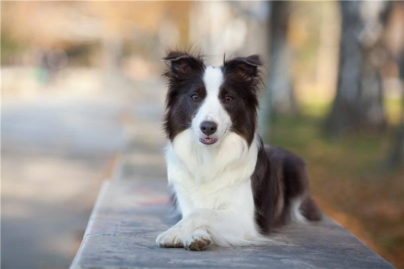 Бордер-колли собака. описание, особенности, уход и цена бордер колли | животный мир