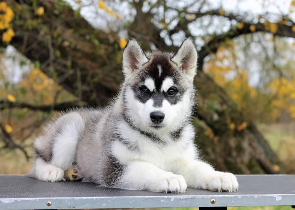 Сибирский хаски: история породы, как выглядят собаки и как за ними ухаживать?