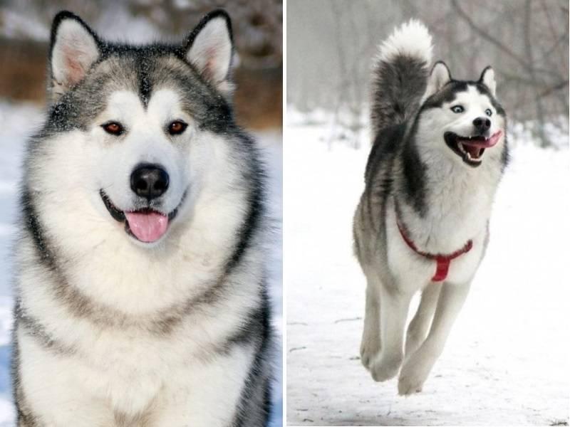 Собаки, похожие на волков (30 фото): названия больших рыжих и черных, белых и других собак. их содержание
