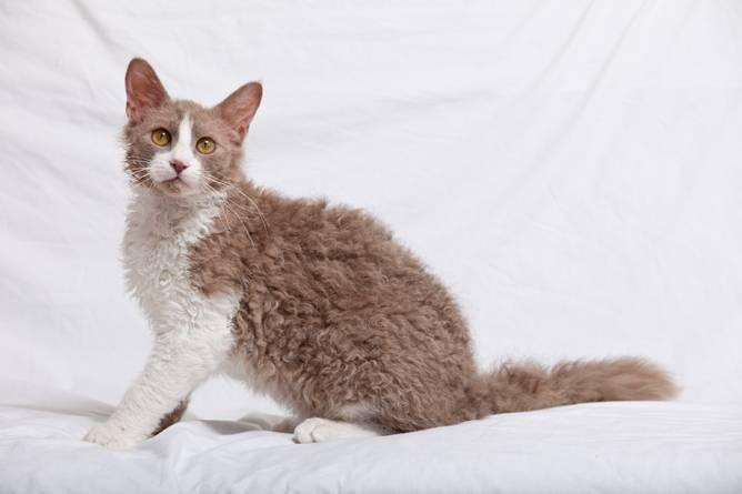 Лаперм: описание породы, различия кота и кошки, короткошерстного и длинношерстного, фото котят, цена в рублях