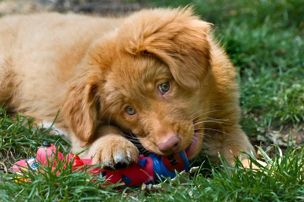 Новошотландский ретривер: фото собаки, описание породы, цена щенков и уход