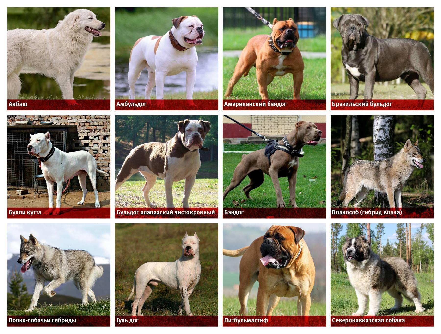 Самые опасные собаки в мире — топ-10 пород-убийц с фото и названиями