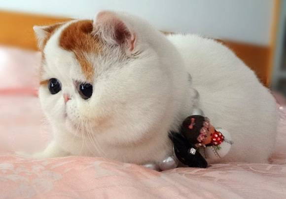 Snoopy-cat: плюшевый мурлыка, покоривший интернет