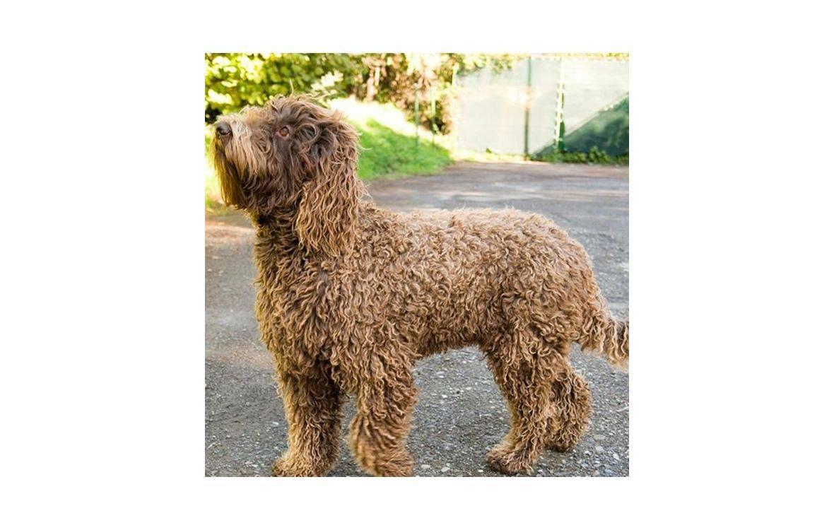 Барбет или французская водяная собака. описание породы