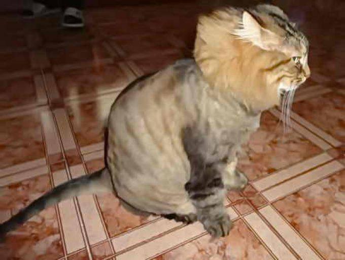 Почему кошка рвет шерстью?